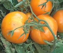 Persimmon tomate