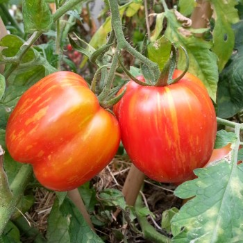 Striped Cavern tomate