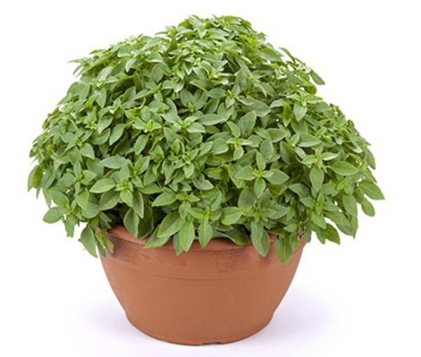 basilic a petite feuilles