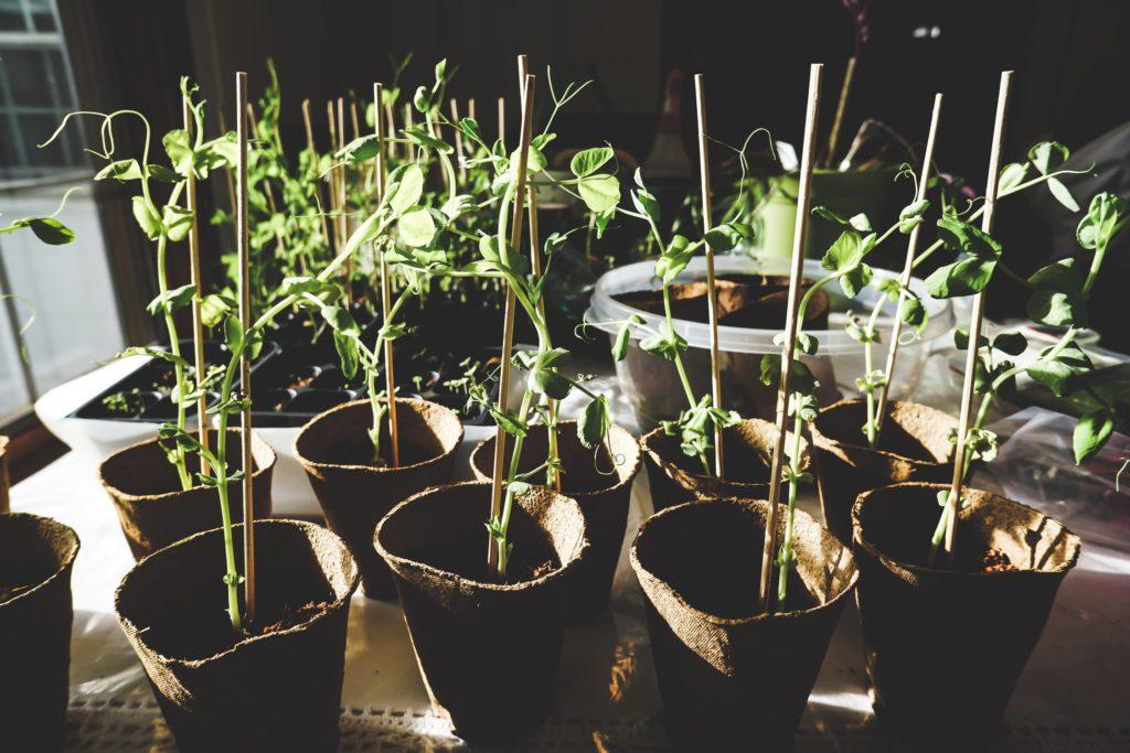 planter semences a l'interieur