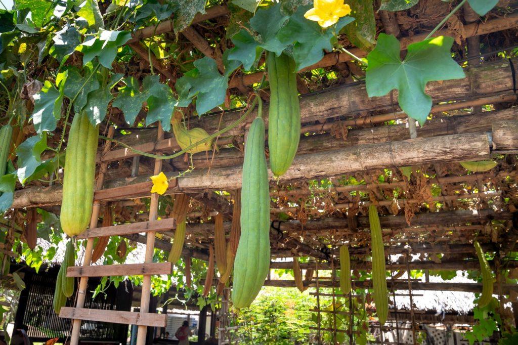 comment faire pousser concombres
