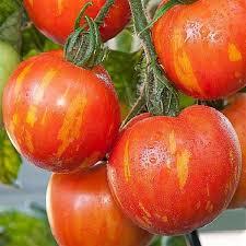 red zebra tomate