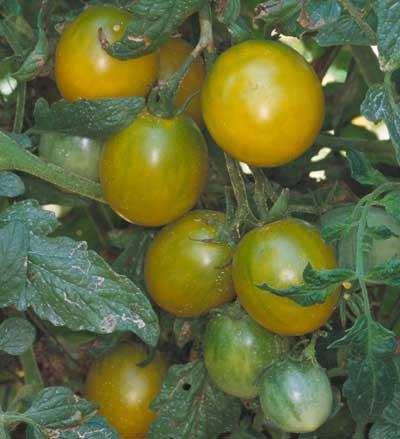 tomate cerise raison jaune