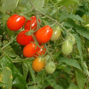 tomate cerise royale