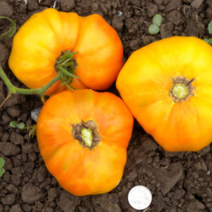 tomate mortgage lifter bicouleur