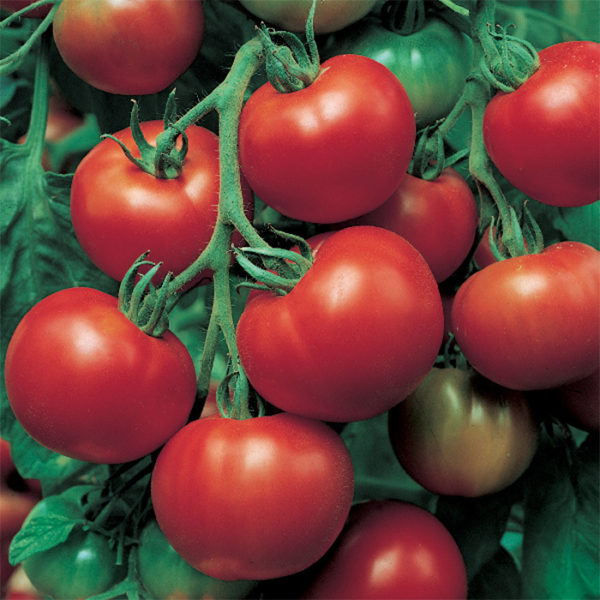 tomate sioux semence