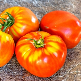 tomate virginia sweet