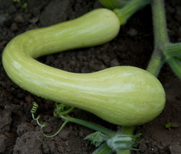 courges tromboncino