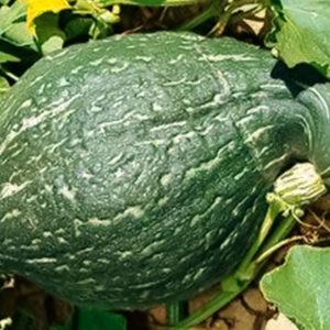 courge green hubbard semence