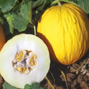 Melon Rugoso di Cosenza Giallo